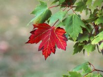 red-maple-tree[1]