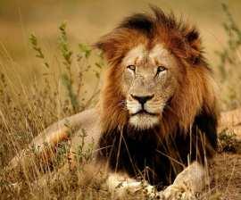 kruger-national-park-south-africa-lions.jpg.1340x0_default
